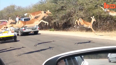 Terrified Impala Antelope Escapes Cheetah By Jumping into Tourist Vehicle in South Africa's Kruger National Park