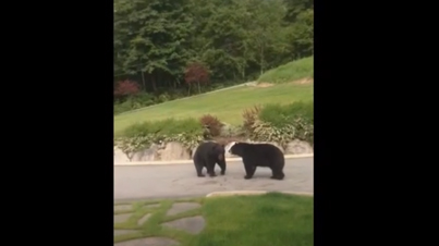 Raw Footage: Two Black Bears Fight For Territory Outside A Ladies House in British Columbia.