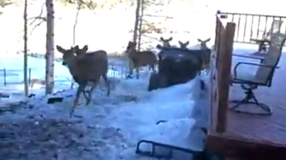 Watch This Man Call An Entire Herd Of Deer Over For Breakfast