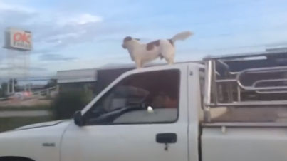 No F*cks Given: This Dog Really Likes Riding On Top Of Cars
