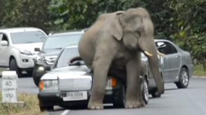 Hope You've Got Insurance: Elephant Goes On A Rampage And Sits On Cars In Traffic
