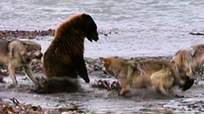 Animal Clip Of The Week: Hungry Grizzly Bear Battles Four Wolves For A Dinner Invitation
