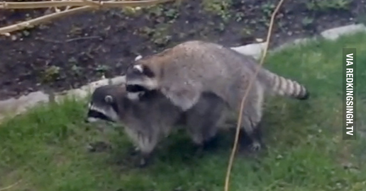 Hilarious Kids Think Love Making Raccoons Are Doing The