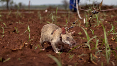 Amazing: The Mine-Sniffing Rats Of Africa
