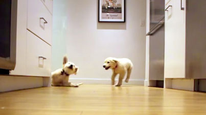 Puppies Filmed Running To Dinner As They Age From 11 Weeks To 11 Months