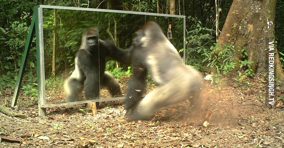 Wild Animals See Reflections For First Time (Video)