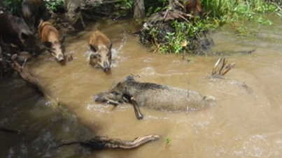 Wild Pigs Get Lured Into Alligator-Infested River By Humans (*Warning* Graphic Footage)