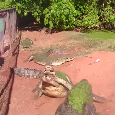 Hungry Crocodile Bites The Foot Off Another Crocodile During A Crazy Feeding Frenzy