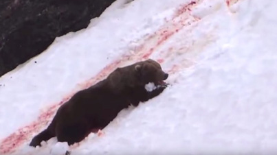 Shocking Footage Of A Grizzly Bear Being Shot By Hunters