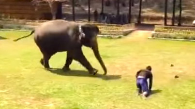 17-Year-Old Elephant Comes To The Rescue Of Her Caretaker In Thailand