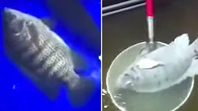 Fish Gets Frozen In Liquid Nitrogen And Then Comes Back To Life