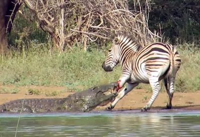 Lucky Zebra Escapes The Jaws Of Two Hungry Crocodiles In South Africa