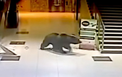Massive Bear Forces Its Way In And Out Of Shopping Centre Before Being Shot