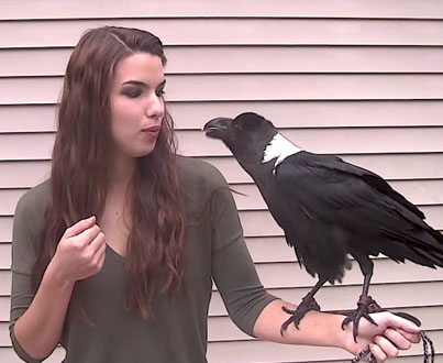 Massive Raven Named Mischief Can Imitate Human Language