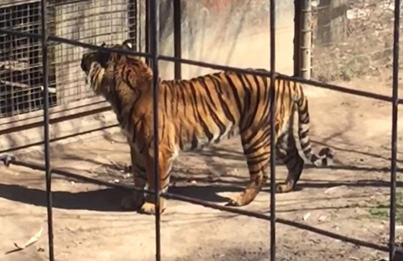 Woman Hops Tiger Fence At Toronto Zoo To Get Her Hat Back