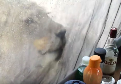 Shocked Tourists Film Lions Licking Water Off Their Tent