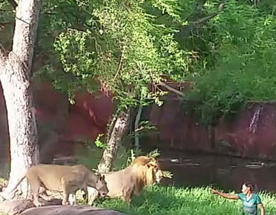 "Drunk Man Jumps Into Zoo Enclosure To ""Shake Hands"" With A Lion"