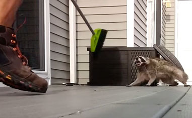 This Raccoon Has Zero Chill 😭