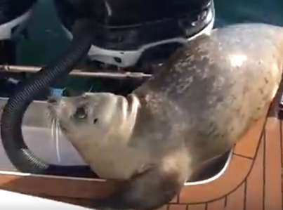 Smart Seal Boards Boat In Order To Escape Killer Whales
