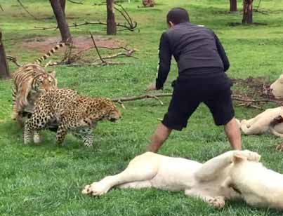 Tiger Saves Man From A Leopard Attack 😱