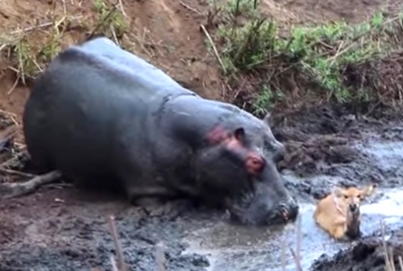 Aggressive Hippo Saves An Antelope From A Pack Of Dogs