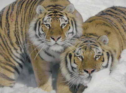 Incredible Drone Footage Of Massive Tigers Frolicking In The Snow 🔥👌