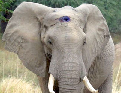 Elephant Calmly Asks For Help After Living With Infected Bullet Lodged In Skull 💎👌