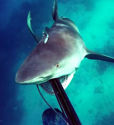 Intense Footage Of A Bull Shark Attacking A Spear Fisherman