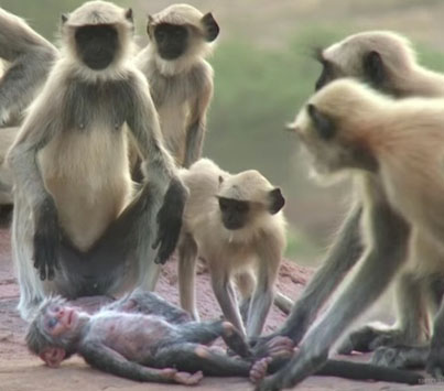 Languar Monkeys In India Grieve Over Fake Monkey 😭😭