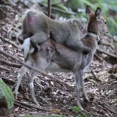 Monkey And Deer Caught Having Sex In World First 😧😱