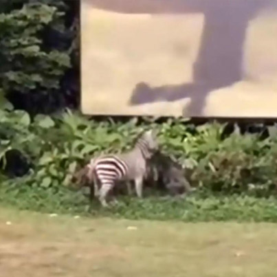 Angry Zebra Attacks Zookeeper At Chinese Zoo 😱😱😱