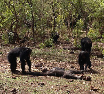 Nature Is F**king Brutal: Chimpanzees Cannibalize Former Leader 😭😭😭