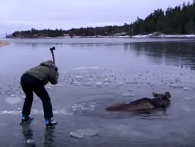 Group Save Drowning Moose From A Frozen Lake 👏👏