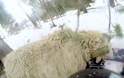 Snowboarder Crashes Into Sheep 😭😭😭