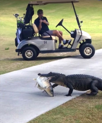 Gator With Fish In Mouth Strolls Across FL Golf Course 😂😂😂