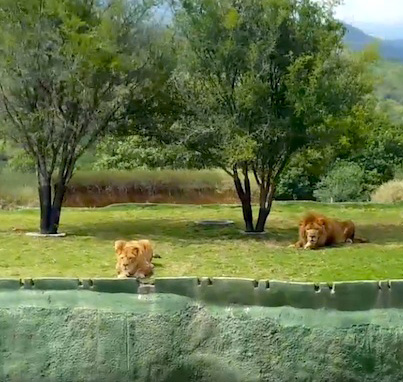 Lion Tries To Attack Screaming Tourists And Jumps Into A Ditch 😁😁😁