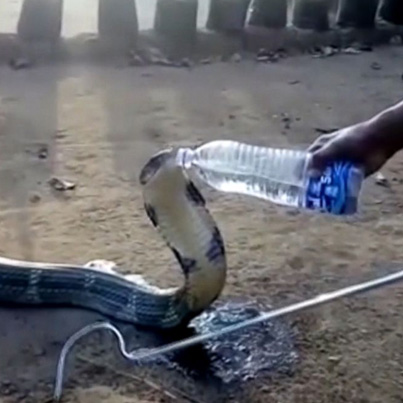 Thirsty Cobra In India Accepts Drink Of Water From A Villager