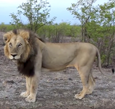 Lion Scares The Sh*t Out Of A Man That Was Stalking Him