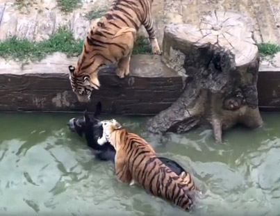 Angry Zoo Investors Feed Live Donkey To Tigers 😱😭