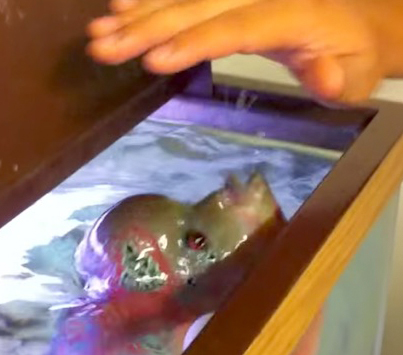 Dude Tries To Pet An Aggressive Thirteen Inch Fish With Massive Teeth 😁😁😁