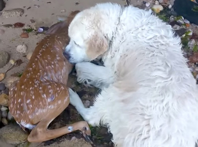 Legendary Dog Saves A Baby Deer From Drowning 👊😳