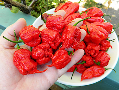Meet The Crazy Mofo Who Invented The World's Hottest Chilli 🌶️😵🔥