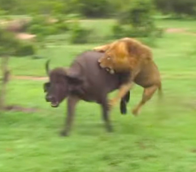 Savage Male Lion Takes On An Entire Herd Of Buffalo 😱😱😱