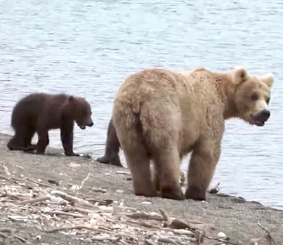 Dude Gets Followed By A Brown Bear And Her Two Cubs