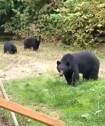 Canadian Man Asks Bears Chilling In His Yard To Leave 🇨🇦