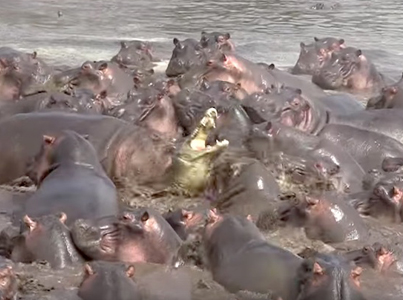 30 Hippos Attack 1 Lone Crocodile For Invading There Territory 😕😕😕