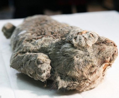 Perfectly Preserved 50,000-Year-Old Cave Lion Cub Discovered In Siberia 😱💀