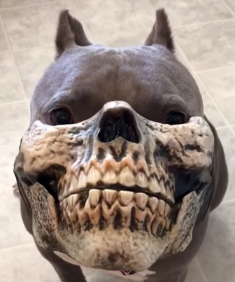 Pit Bull Wearing Mask Looks Scary ASF 😱😱😱