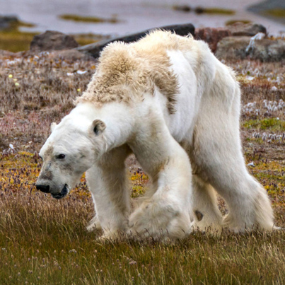 This Is What Climate Change Looks Like: Starving Polar Bear On Iceless Land 😭😭😭