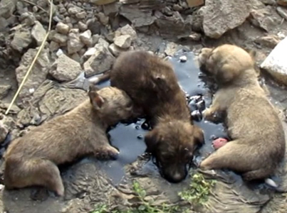 Three Puppies Rescued From Tar Pit In India 😭😭😭🙏🙏🙏